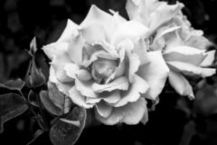 Las floraciones hermosas se cierran encima de rosas en el jardín en un humor negro del nostálgico del fondo foto de archivo