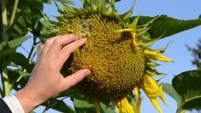 Las floraciones maduras del girasol del tacto de la mano caen abajo cielo azul del fondo almacen de video