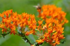 Las florecillas de la mala hierba de mariposa atraen insectos de polinización Fotografía de archivo libre de regalías