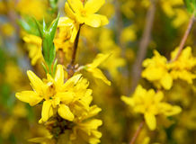 Las flores amarillas brillantes en Bush, muchas florecen racemes y uno sienta una araña hermosa imagen de archivo