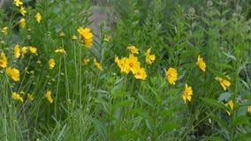 Las flores amarillas crecen en el sendero, piernas entran en la distancia almacen de video