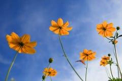 Las flores amarillas de la estrella y el fondo del cielo azul utilizan como Fotos de archivo libres de regalías