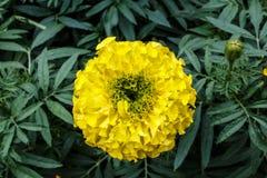 Las flores amarillas de la maravilla se cierran para arriba Foto de archivo