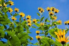 Las flores amarillas de las plantas de alcachofa de Jerusalén Fotografía de archivo