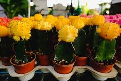 Las flores amarillas del cactus en potes en el cactus hacen compras en mercado de las flores Imagenes de archivo