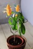 Las flores amarillas del camarón de oro plantan Pachystachys Lutea - planta casera hermosa en un pote Fotos de archivo libres de regalías