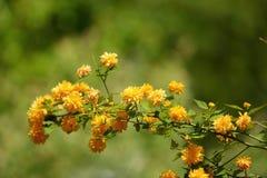 Las flores amarillas en arbustos son un color muy popular entre diversos tipos de plantas Fotos de archivo