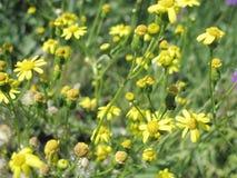 Las flores amarillas están en el campo salvaje Imágenes de archivo libres de regalías