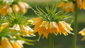 Las flores amarillas interesantes pintorescas de los tulipanes florecen en jardín de la primavera Flor decorativo de la flor del  almacen de video