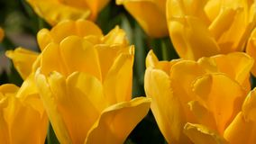 Las flores amarillas interesantes pintorescas de los tulipanes florecen en jard?n de la primavera Flor decorativo de la flor del  almacen de video