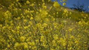 Las flores amarillas pac?ficas de la mostaza con las mariposas pintaron a la se?ora en una brisa fresca apacible metrajes