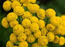 Las flores amarillas se cierran para arriba Fotografía de archivo