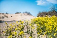 Las flores amarillas se encuentran cerca de la playa arenosa foto de archivo