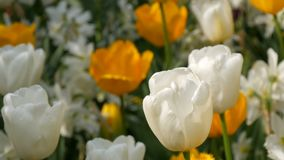 Las flores amarillas y blancas coloridas hermosas pintorescas de los tulipanes florecen en jardín de la primavera Flor decorativo almacen de metraje de vídeo