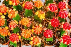 Las flores amarillas y rojas del cactus en potes en el cactus hacen compras en mercado de las flores Imagen de archivo libre de regalías