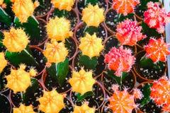 Las flores amarillas y rojas del cactus en potes en el cactus hacen compras en mercado de las flores Imágenes de archivo libres de regalías
