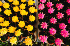 Las flores amarillas y rosadas del cactus en potes en el cactus hacen compras en mercado de las flores Imagenes de archivo