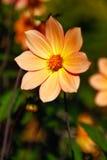 Las flores amarillo-naranja de la dalia en desafío del punto parquean en Tacoma Fotografía de archivo