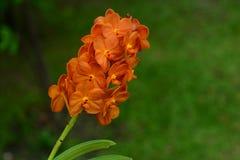 Las flores anaranjadas de la orquídea parecen frescas Imágenes de archivo libres de regalías