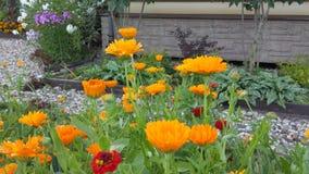 Las flores anaranjadas del calendula son florecientes y que agitan en el viento metrajes