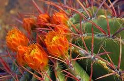 Las flores anaranjadas del rojo derrocharon el cactus de barril Fotos de archivo libres de regalías