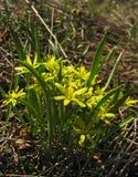 Las flores arquean los brotes amarillos del ganso en un fondo verde, RRPP de la primavera Foto de archivo libre de regalías