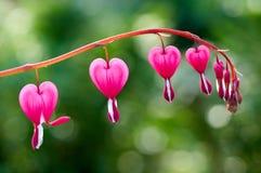 Las flores bastante rosadas del corazón sangrante atan hacia fuera en una rama imagen de archivo libre de regalías