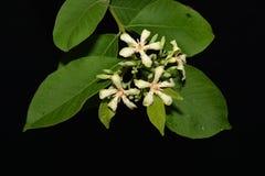 Las flores blancas imagen de archivo libre de regalías