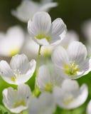 Las flores blancas de Forrest se cierran para arriba Imagen de archivo