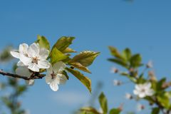 Las flores blancas de la cereza saltan floraci?n con el cielo azul en fondo o foto de archivo
