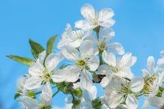 Las flores blancas de la cereza saltan floraci?n con el cielo azul en fondo o imágenes de archivo libres de regalías