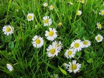 Las flores blancas de la margarita de ojo de buey florecen en primavera imágenes de archivo libres de regalías