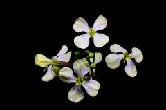 Las flores blancas de la primera primavera en un tallo verde con los brotes isola foto de archivo