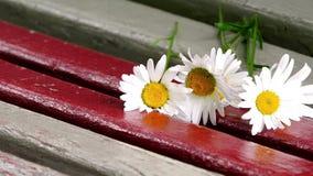 Las flores blancas del campo caen en las barras rojas y blancas del oscilación almacen de metraje de vídeo