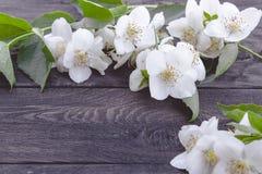 Las flores blancas del jazmín y las hojas verdes mienten en un fondo de madera Hay un lugar para su texto foto de archivo libre de regalías