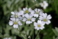 Las flores blancas del primer en un fondo verde Imagenes de archivo