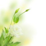 Las flores blancas delicadas con los brotes/aislaron/Eustoma (Lisian Imagenes de archivo