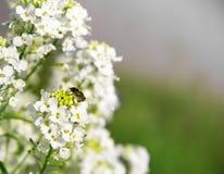 Las flores blancas en un rábano picante de la planta del arbusto sientan la inscripción del fondo de la abeja Imagenes de archivo