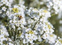 Las flores blancas en un rábano picante de la planta del arbusto sientan la inscripción del fondo de la abeja Imagen de archivo libre de regalías