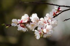 Las flores blancas florecen en una rama de un árbol frutal Imagen de archivo
