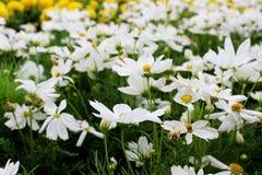 Las flores blancas hermosas del cosmos y la maravilla amarilla florece en jardín fresco Imágenes de archivo libres de regalías