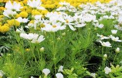 Las flores blancas hermosas del cosmos y la maravilla amarilla florece en jardín fresco Fotografía de archivo libre de regalías