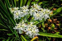 Las flores blancas la novia y las abejas son trabajadores Foto de archivo