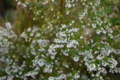 Las flores blancas les gusta granos en un campo Imagen de archivo