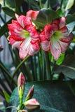 Las flores blancas rosadas rayadas múltiples de la amarilis del hippeastrum con las rayas rojas en los pétalos en fondo del jardí Imagenes de archivo