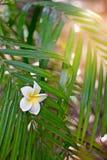 Las flores blancas y amarillas de la belleza del plumeria caen abajo en un árbol de las hojas del verde, flor del Frangipani Fotografía de archivo libre de regalías