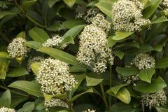 Las flores blancas y fragantes del japonica de Skimmia Foto de archivo