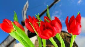 Las flores brillantes de tulipanes rojos se enderezan y se abren los pétalos Lapso de tiempo metrajes
