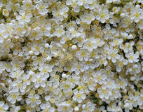 Las flores brillantes del modelo de la textura de la floración floreciente de la rama de la planta de la ceniza de montaña salen  Fotos de archivo libres de regalías