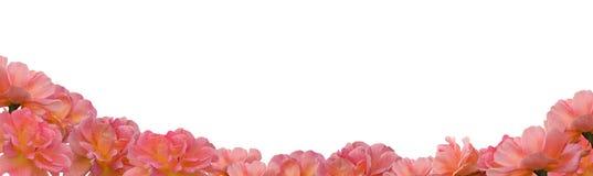 Las flores color de rosa del albaricoque rosado enmarcan la frontera en blanco Fotos de archivo libres de regalías